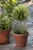 Rosemary Stem (Rosmarinus) with Lavender (Lavandula)