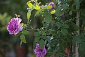 Rose 'Gertrude Jekyll', fragrant, robust, often flowering