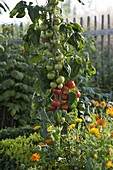 Tomato (Salad tomato) 'Pol Robson' reddish brown from Noah's Ark