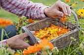 Peel petals of calendula (marigold) to dry