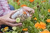 Harvesting seeds from calendula (marigold)