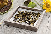 Seeds of Helianthus (sunflower) are drying