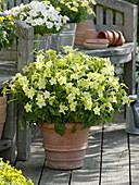 Nicotiana Tuxedo 'Lime Green' (ornamental tobacco) in terracotta pot