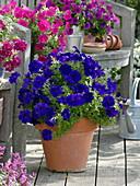 Petunia Bingo 'Blue' (blaue Petunie) in Terracotta Topf