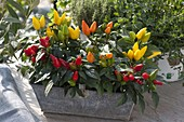 Capsicum annuum 'salsa' (edible ornamental paprika) in tin basket