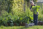 Woman is harvesting Chinese cabbage (Brassica) in the vegetable garden
