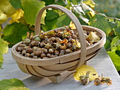 Freshly harvested hazelnuts (Corylus avellana) in the basket