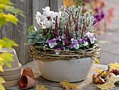 Calluna vulgaris 'Twin Girls', Viola cornuta