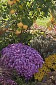 Chrysanthemum 'Kifix' (Herbstchrysantheme), Ajania Bellania 'Benetti'