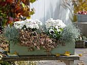 Herbstkasten mit Chrysanthemum 'Kiwhite' (Herbstchrysanthemen)