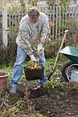 Man planting witch hazel