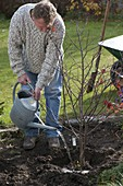 Man plants Japanese fan maple in the bed