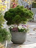 Pinus mugo 'Varella' (Dwarf pine, Nasto symphony)