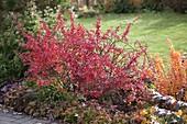 Berberis thunbergii 'Atropurpurea', 'Golden Torch' (barberry)