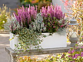 Autumnal chest with Erica gracilis 'Christine', Calluna