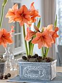 Plant Amaryllis in Gray Box