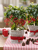 Ardisia crenata in pots with felt cover