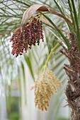 Blossom of Phoenix roebelenii (Dwarf Date Palm)