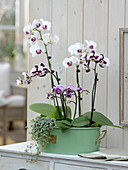 Phalaenopsis (Malay flower, butterfly orchid), Pilea