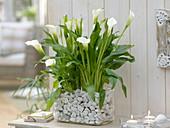 Zantedeschia 'Crystal Blush' (arum lily)