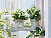Kalanchoe 'Paris' in a wooden coaster at the window