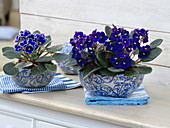 Saintpaulia Ionantha in blue and white ceramic bowls