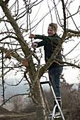 Woman cutting back apple tree (malus) in winter