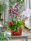Orchid Bowl, Cambria 'Euro Star', 'Nelly Isler', 'Bobcat'