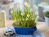 Muscari 'White Magic' (grape hyacinth) in blue shell