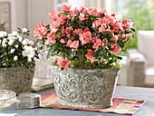Rhododendron simsii 'Christine Magic' (Room Azalea)