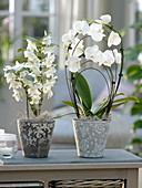 Dendrobium nobile and Phalaenopsis in gray-white planters