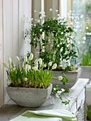 Muscari 'White Magic' and Jasminum polyanthum