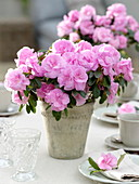 Rhododendron simsii (room azalea) as a table decoration