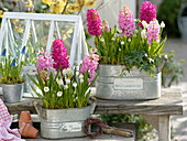 Hyacinthus (hyacinth), Muscari 'White Magic', 'Big Smile'