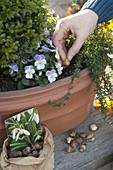 Put snowdrop bulbs in winter planted box