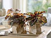 Begonia Rex (Foliage Begonia) in paper bags