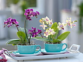 Mini-Phalaenopsis (Malay flower, butterfly orchid)