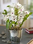 Dendrobium 'Star Class White' in a silver planter