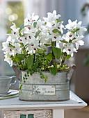 Dendrobium 'Star Class White', Ficus pumila 'Sunny'