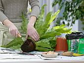 Woman replants Asplenium nidus (Nest fern)