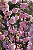 Flowers of Prunus triloba (almond tree)