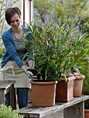 Woman changing Nerium (oleander) into larger terracotta tubs