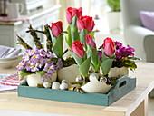 Tulipa 'Couleur Cardinal', Primula 'Wanda'