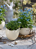 Myosotis and thyme in ostrich eggs