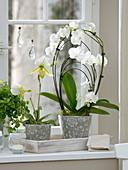 Orchid window with Phalaenopsis 'Rainbow White', Paphiopedilum 'Maudiae'