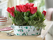 Tulipa 'Couleur Cardinal', thyme, chives
