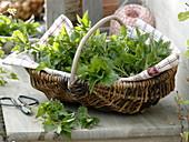 Freshly harvested nettles (Urtica) for the spring cure