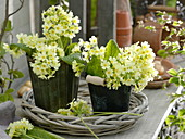 Primula elatior in tin pots on basket bowl
