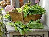 Frisch geernteter Bärlauch (Allium ursinum) in Holzkorb und gebündelt