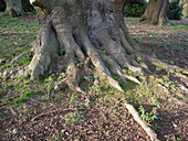 Roots of ancient, gnarled Fagus sylvatica (European beech)
